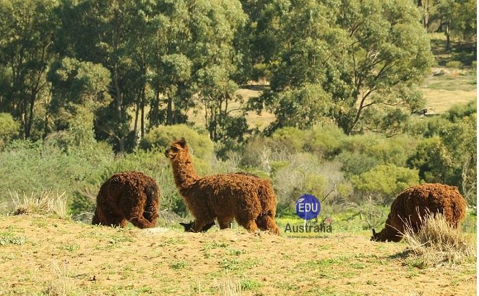 Nông trại Úc 4 - Việc làm tại Úc