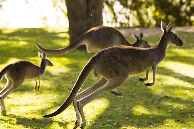 """Kangourou là """"tế bào"""", là """"DNA"""" của cuộc sống ở Úc"""